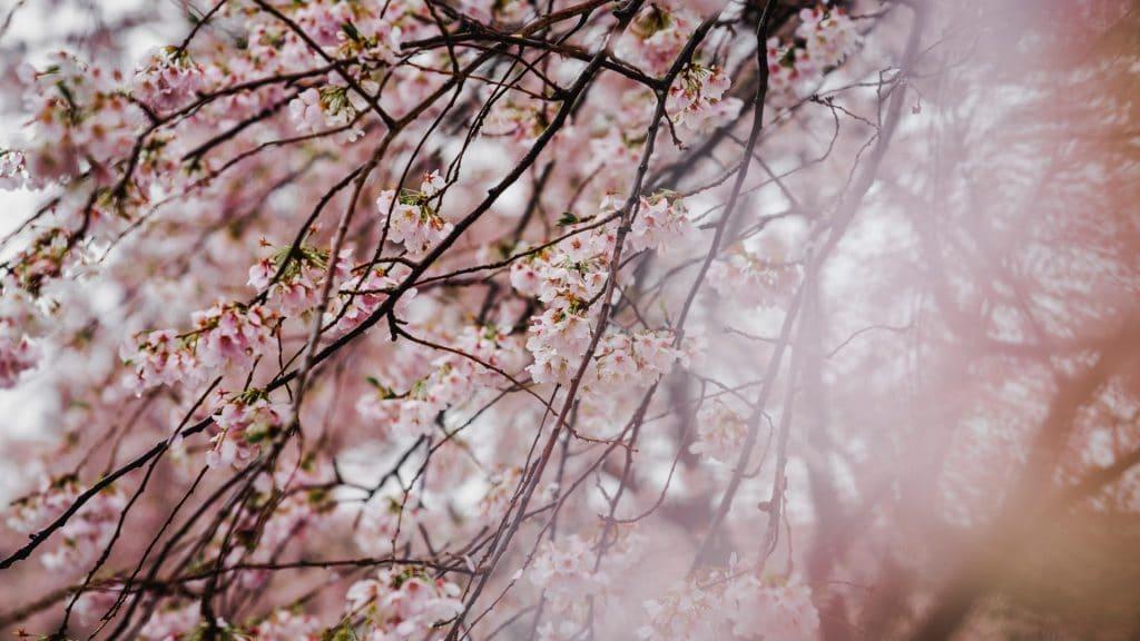 Cerisiers à Tokyo
